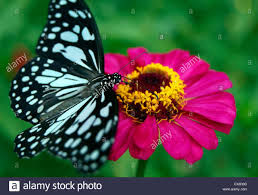 butterfly flower butterfly flower honey glassy tiger butterfly sitting on