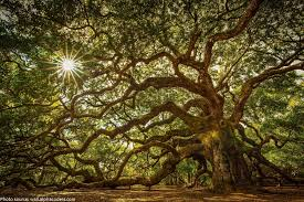 interesting facts about oak trees just facts