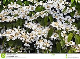 White Flowering Shrub - white flowering shrub stock photo image 54344543