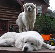 Great Pyrenees Rescue Provides Wonderful Dogs To Good Homes   rescue a great pyrenees great pyrenees pinterest dog animal