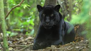 all black jaguar the meaning and symbolism of the word panther