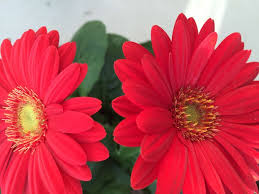 gerbera daisies how to grow gerbera daisies with pictures wikihow