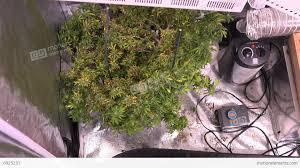 marijuana plant indoor grow room zoom in stock video footage