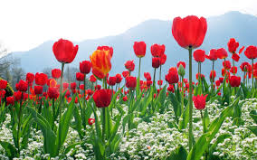 tulip field background hd wallpapers backgrounds