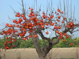 master gardener persimmons trees are a package deal press enterprise
