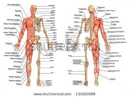 Picture Of Human Knee Muscles Human Skeleton Stock Images Royalty Free Images U0026 Vectors