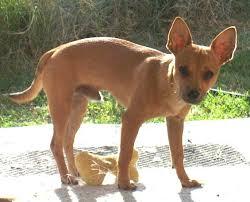 te chichi active again mystery of my hairless chihuahua