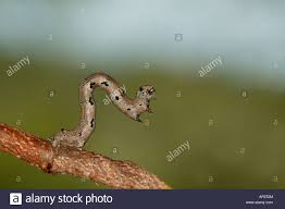 a small brown inch worm reaching upwards from a twig sabi sand