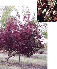 caragana cherry wheatland trees ltd