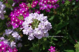 Verbena Flower Flowers V Verbena Viburnum Vigna Unguiculata Vitex