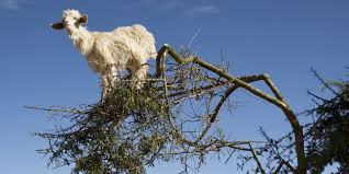Tree Get Out Of That Tree Goats Huffpost