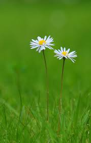 666 best daisies images on pinterest daisy flowers flowers and