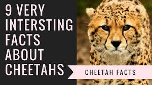 cheetah facts interesting facts about cheetah youtube