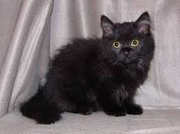 453 best coon vs ragdoll images on maine coon