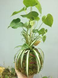Best Plants For Vertical Garden - kokedama moss ball how to start a vertical garden geoponics