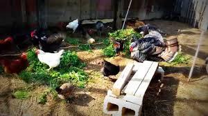 backyard chickens u0026 turkey youtube