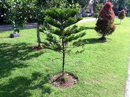 decorations prepossessing small ornamental trees with leaf