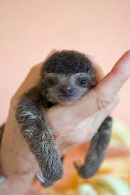 4 toed sloth get 20 three toed sloth ideas on without signing up 2