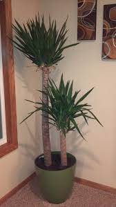 how to identify houseplants yucca plant ask judy