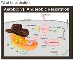 Meme Biology - what in respiration what in tarnation know your meme