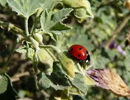 getting rid of bad bugs with beneficial insects gardening know how