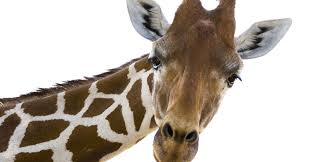 omo rare white giraffe spotted in tanzania u0027s tarangire national