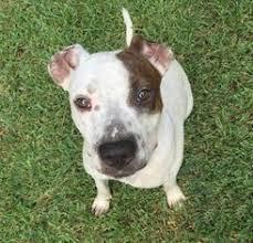 american pitbull terrier puppies louisiana view ad american pit bull terrier pointer mix dog for adoption