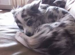 australian shepherd dalmatian mix sookie the chihuahua mix designer dog photo gallery 16089