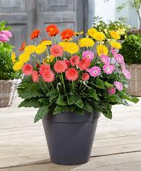 gerbera plant buy hardy perennials now gerbera garvinea sweet series mix