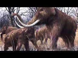 woolly mammoth extinction u0027not linked humans u0027 worldnews