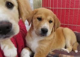 adopt a australian shepherd adopt a dog