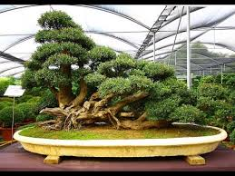 how to grow outdoor bonsai trees in your garden