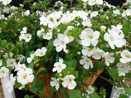 Garden Plants Names And Pictures by Bacopa Trailing Annual U2013 How Do You Care For Bacopa Plants