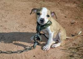 american pitbull terrier illegal resources mutt madd ness