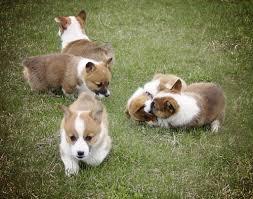 corgi pb pembroke welsh corgi pup down payment 750 00 and full payment
