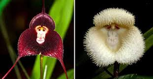 Monkey Orchid Beautiful Photos Of Rare Monkey Orchids Celebrate Year Of The