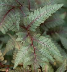 native japanese plants athyrium niponicum wikipedia
