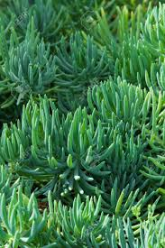 succulent plants or succulents are plants that have thick and
