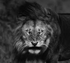 black king wallpaper wallpaper animals portrait nature lion wildlife nose big