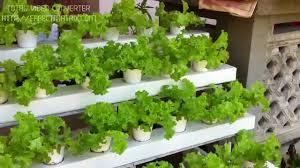 cebu hydroponics hydroponic lettuce garden youtube