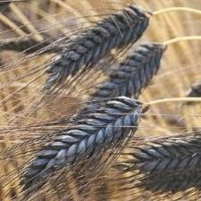 wheat black ornamental grass seeds the sun seeds