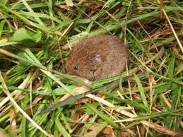 vole control how to get rid of voles