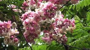 cassia javanica the rainbow shower tree youtube