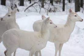 white reindeer vim vintage design style