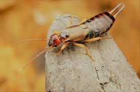 earwig infestation information u0026 control environmental pest control