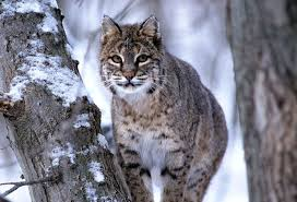 Wisconsin wild animals images Wi cougar sightings continue no evidence they 39 re settling down jpg