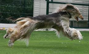 afghan hound owner reviews afghan hound breed profile australian dog lover