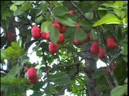 Ackee Fruit Tree - jamaican national fruit youtube