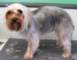 silky terrier hair cut pet grooming the good the bad the furry scissoring a yorkie
