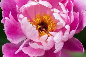 Peony Flower Free Photo Peony Flower Nature Flora Free Image On Pixabay